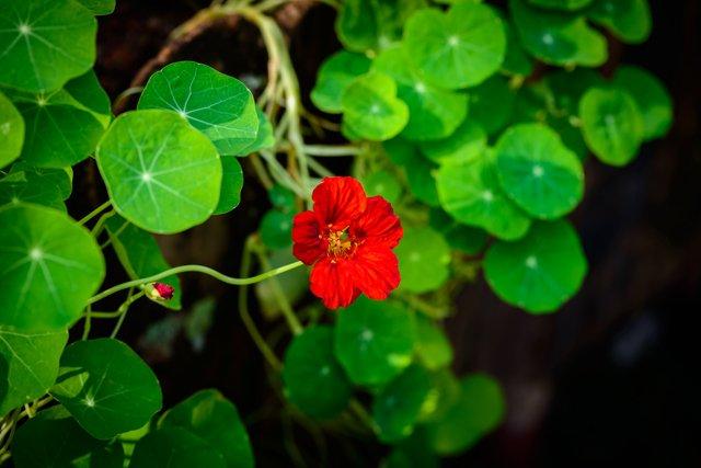 Fiore di centella asiatica