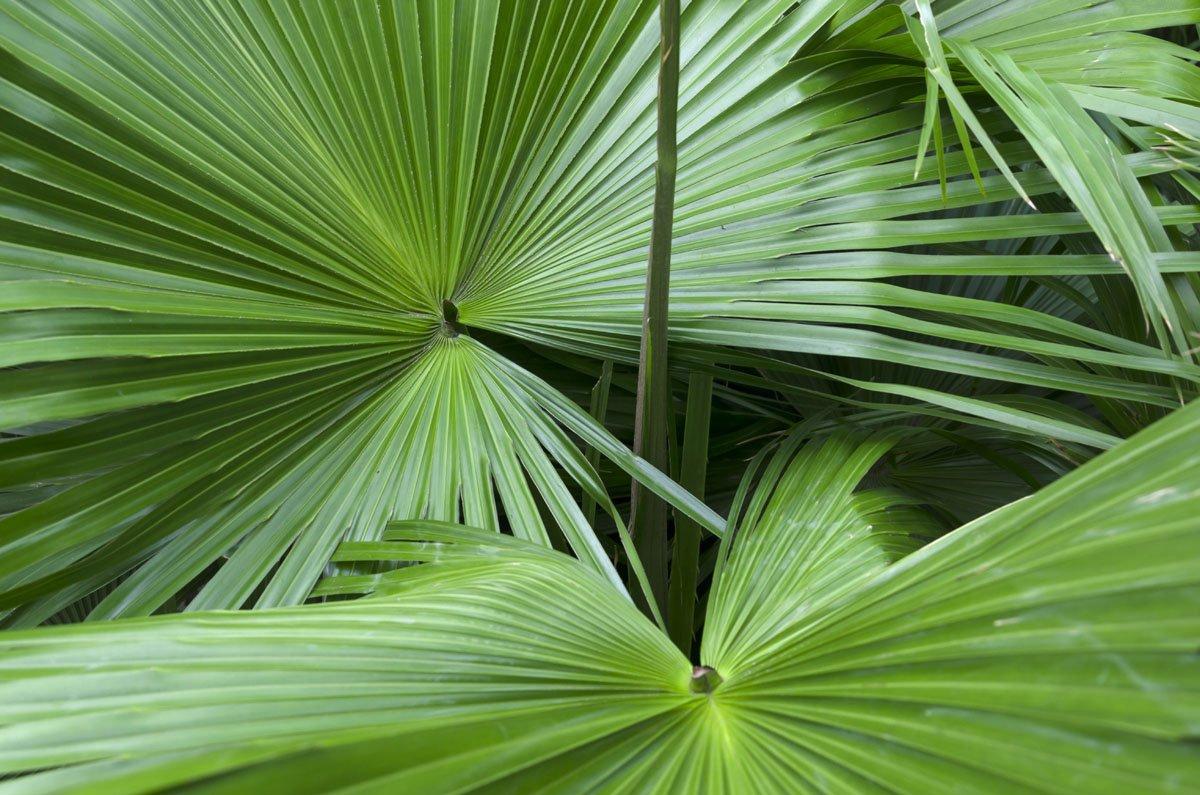 permixon palmetto seghettato serenoa repens